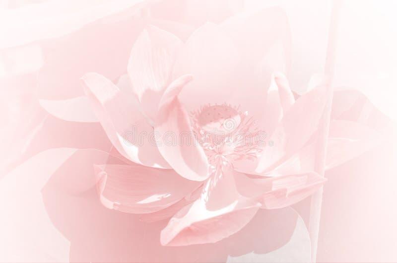 Mooie lotusbloem in de vijver stock afbeelding