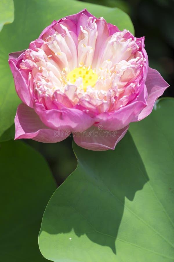 Mooie lotusbloembloem op aard royalty-vrije stock fotografie