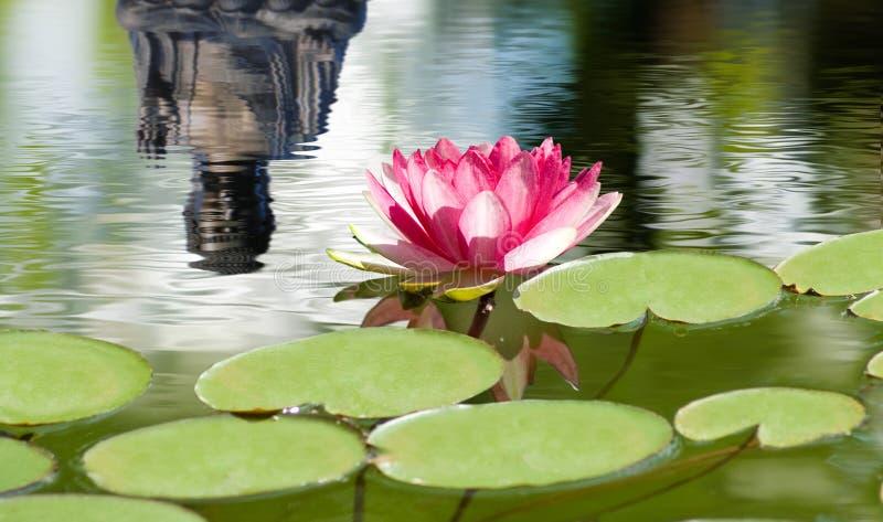 Mooie lotusbloembloem op het water in een parkclose-up stock fotografie