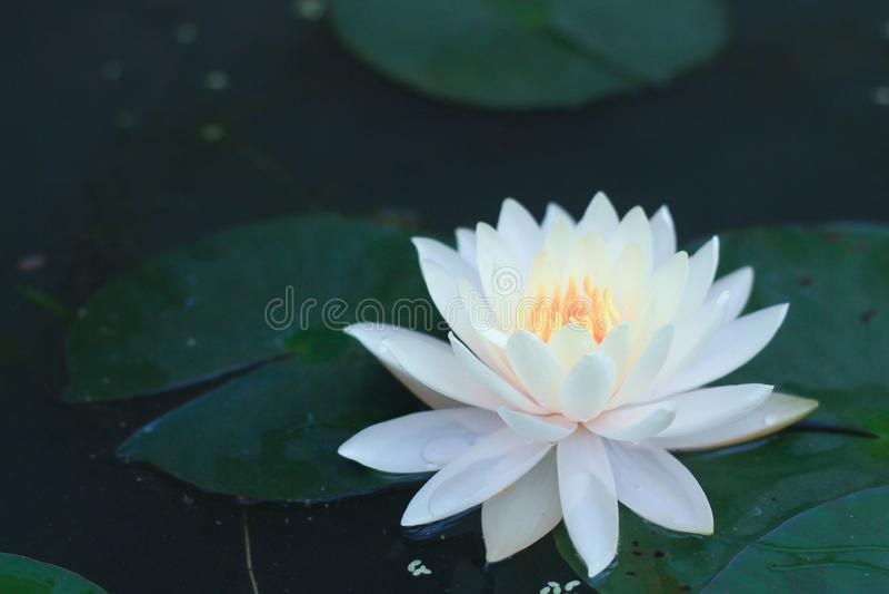 Mooie lotusbloembloem in vijver royalty-vrije stock foto's