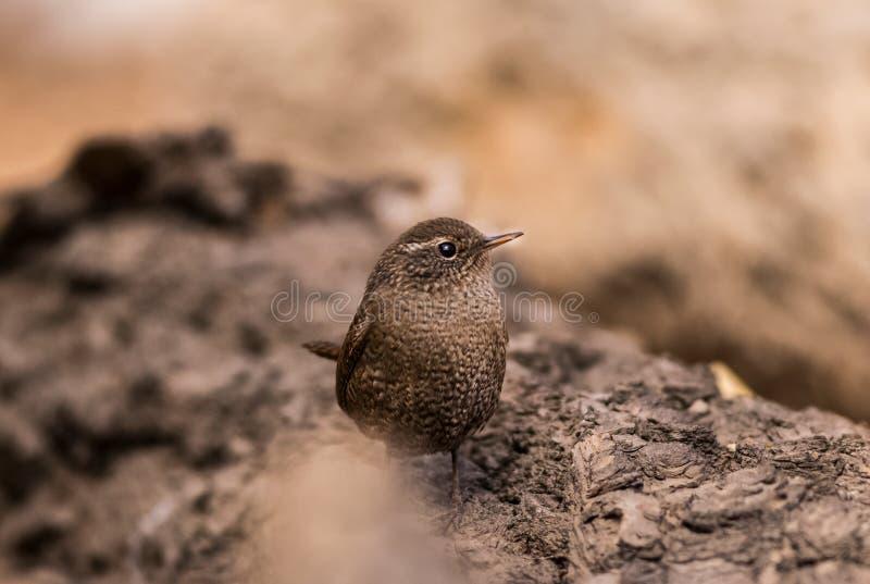 Mooie luchtige de toppositie wilde Rivieroever van de insektivoor migratie bruine zangvogels van winterkoninkjevogels royalty-vrije stock foto