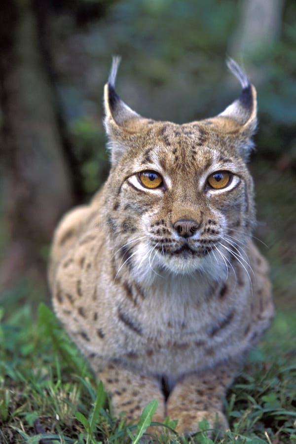 Mooie Lynxogen royalty-vrije stock foto's