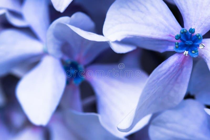 mooie macro dichte omhooggaand van bos van blauwe violette bloemblaadjes van hortensiabloem op vaag achtergrondtextuurpatroon royalty-vrije stock afbeeldingen