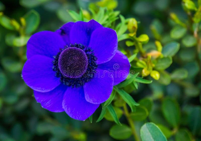 Mooie macroclose-up van een purpere anemoonbloem, populaire gecultiveerde tuinbloem, sierplant, aardachtergrond royalty-vrije stock afbeelding