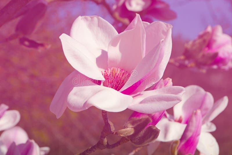 Mooie Magnolia royalty-vrije stock afbeelding