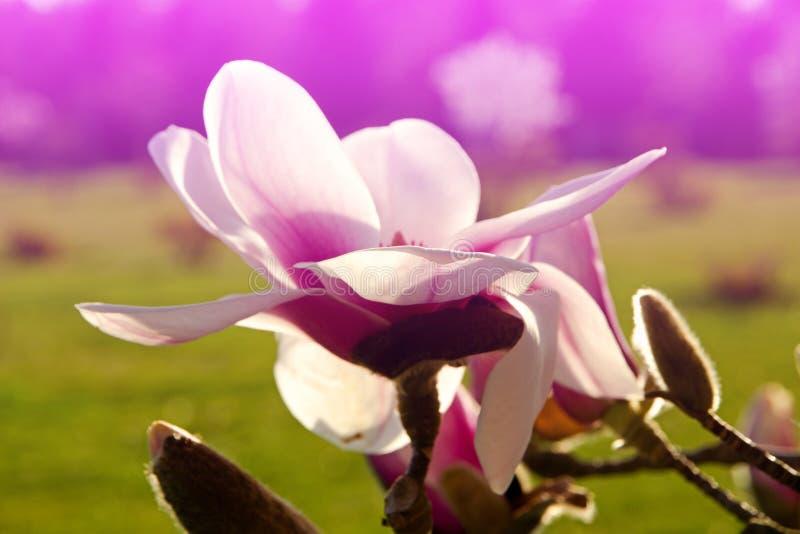 Mooie Magnolia royalty-vrije stock fotografie