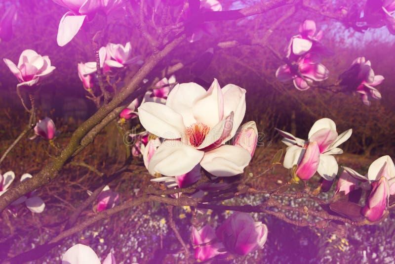 Mooie Magnolia stock foto