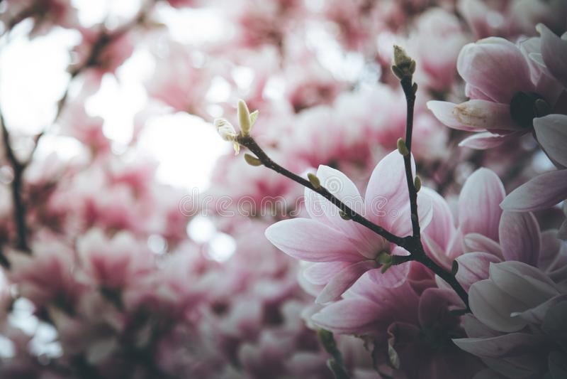 Mooie magnoliabloei in de lente, Salzburg, schoonheid stock foto's