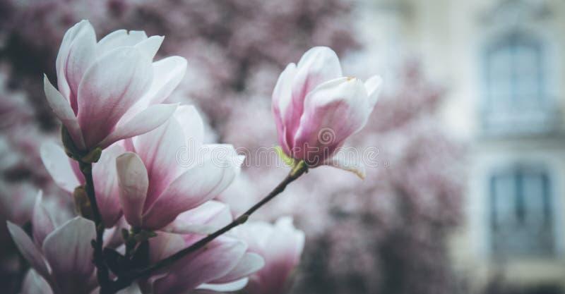 Mooie magnoliabloei in de lente, Salzburg, schoonheid stock afbeelding