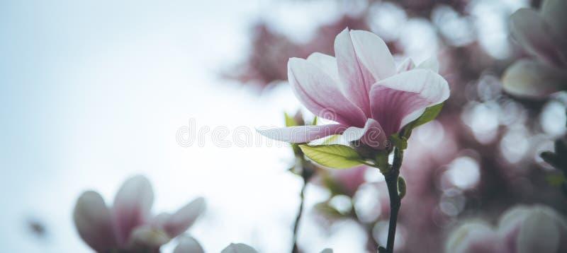 Mooie magnoliabloei in de lente, Salzburg, schoonheid royalty-vrije stock afbeelding