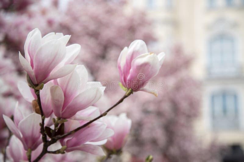 Mooie magnoliabloei in de lente, Salzburg, schoonheid royalty-vrije stock foto's