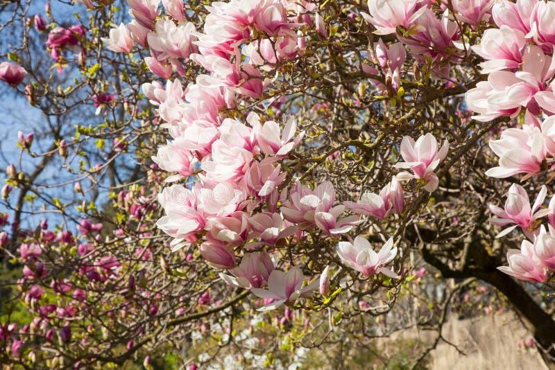 Mooie magnoliabomen in volledige bloesem met roze en witte bloemen, de achtergrond van het de lentepark stock fotografie