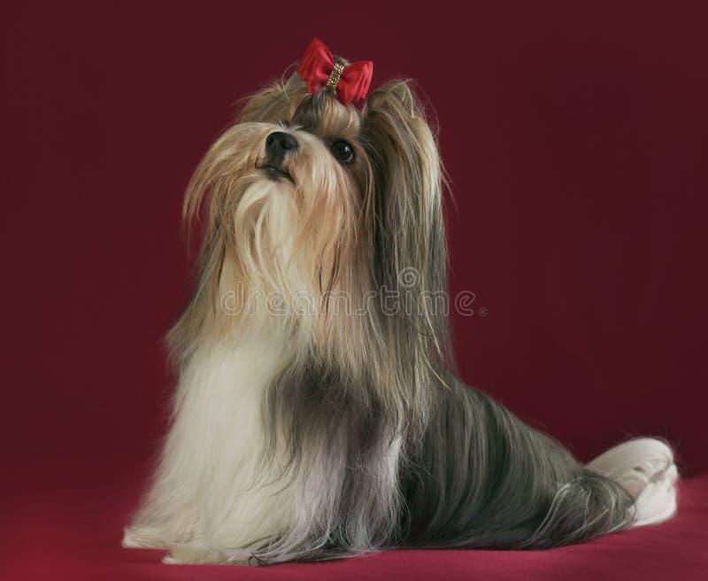 Mooie mannelijke Bever Yorkshire Terrier met boog royalty-vrije stock fotografie
