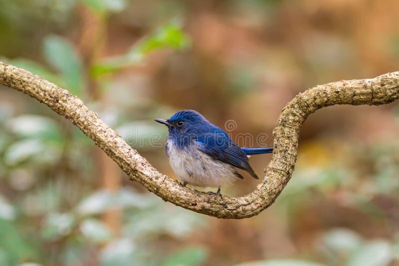 Mooie mannelijke vogel van de Blauwe Vliegenvanger van Hainan (Cyornis-concreta) royalty-vrije stock afbeeldingen