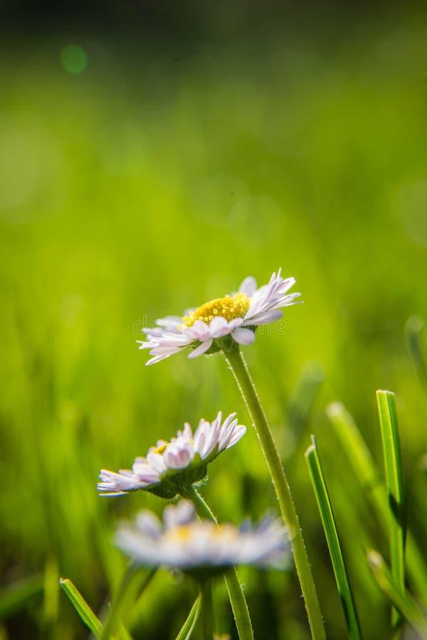Mooie margrieten die in het gras bloeien De zomerlandschap in tuin en park stock fotografie