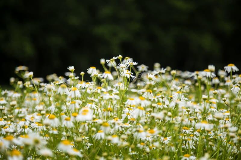Mooie margrieten die in het gras bloeien De zomerlandschap in tuin en park royalty-vrije stock afbeeldingen