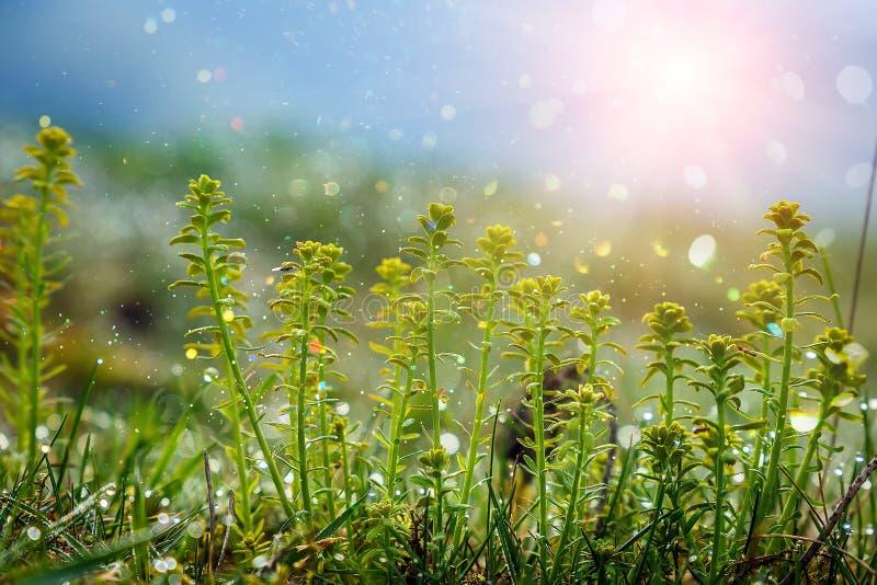 Mooie Mening het gebied van de de lenteinstallatie in de ochtendzon Vers groen gras met dauw Kan als achtergrond worden gebruikt stock foto