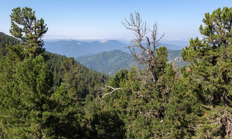 Mooie mening van de bergpieken van pijnboom bosaltai Krai royalty-vrije stock foto