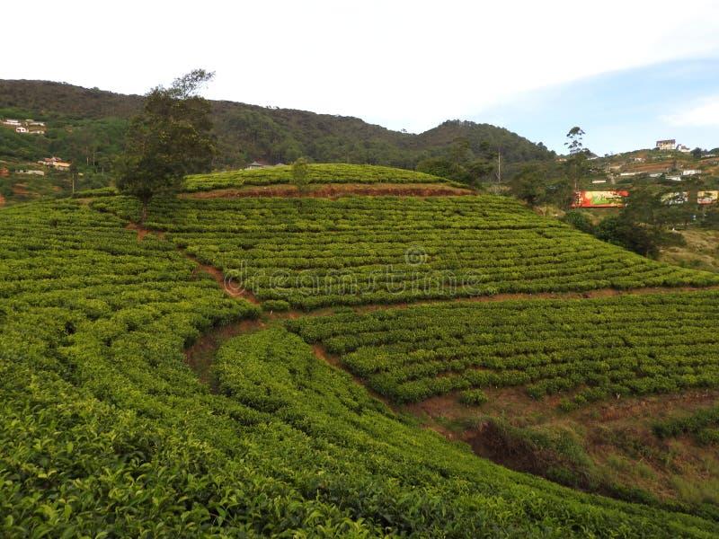Mooie mening van de hoge aanplanting van de bergthee in Sri Lanka, Nuwara Eliya stock fotografie