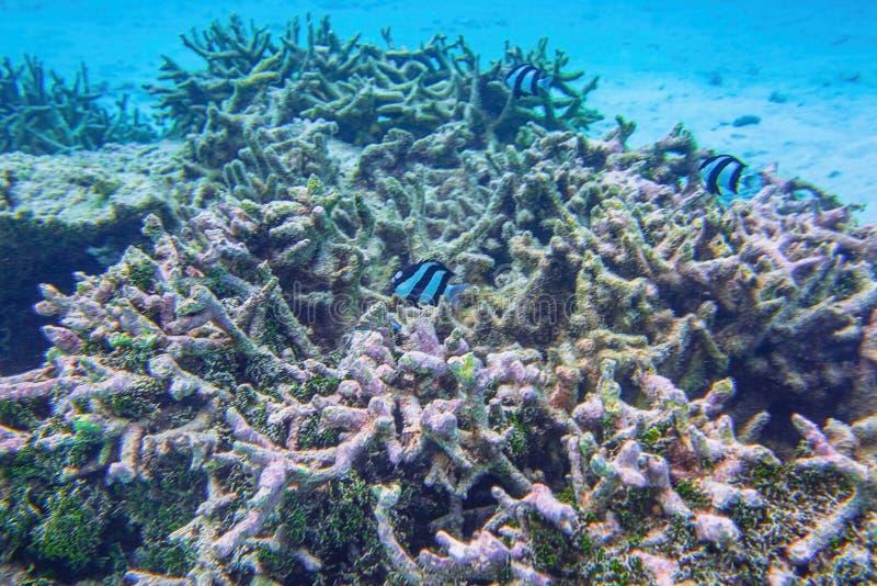 Mooie mening van dode koraalriffen Onderwater wereld Snorkelend in Indische Oceaan, royalty-vrije stock fotografie