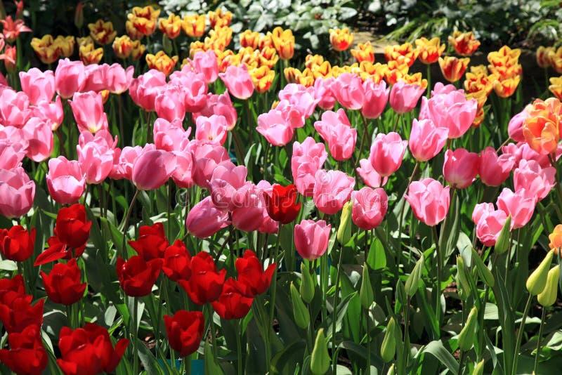 Mooie mening van rode en roze tulpen stock afbeelding