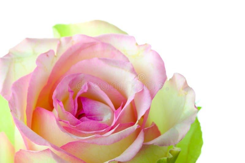 Mooie multicolored pingelt en geel nam bloem toe stock afbeelding