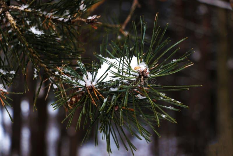 Mooie natuurlijke de winterachtergrond De boomtakken van de pijnboom die met sneeuw worden behandeld Bevroren boomtak in de winte stock fotografie