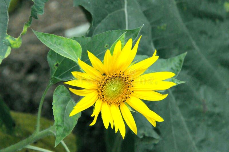 Mooie natuurlijke gele zonnebloem in tuin royalty-vrije stock fotografie