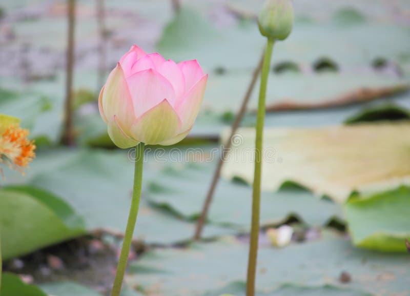 Mooie natuurlijke roze bloeiende lotusbloembloem in vijver stock afbeeldingen