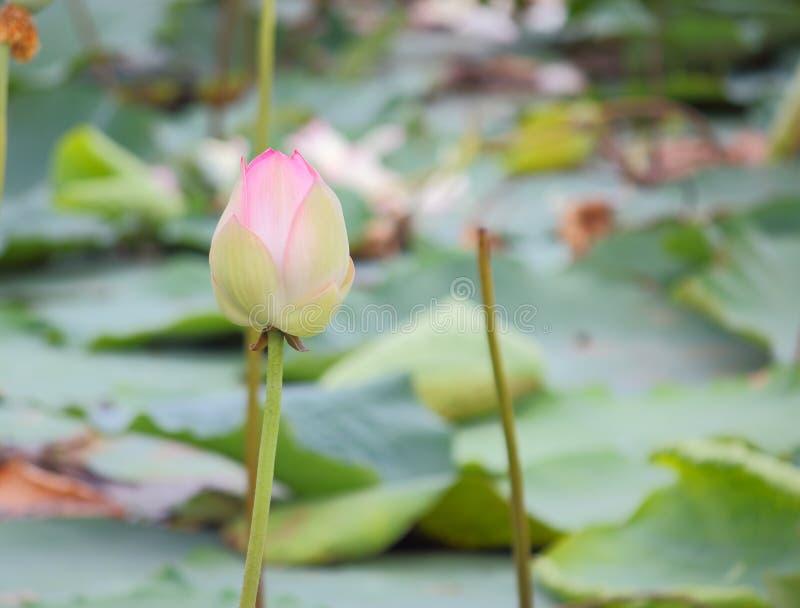 Mooie natuurlijke roze bloeiende lotusbloembloem in vijver royalty-vrije stock fotografie