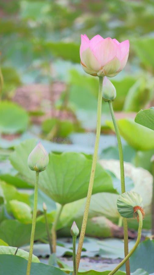 Mooie natuurlijke roze bloeiende lotusbloembloem in vijver stock afbeelding