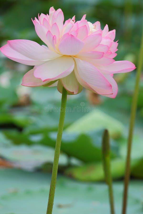 Mooie natuurlijke roze lotusbloembloem in vijver stock afbeeldingen