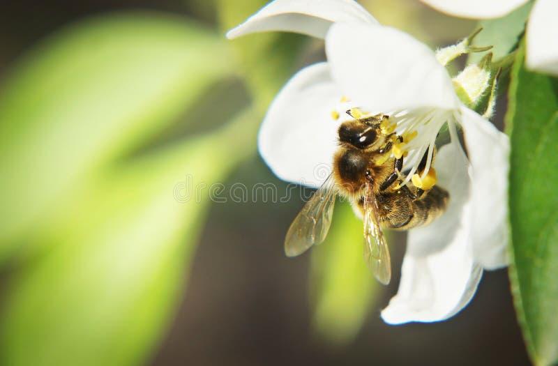 Mooie natuurlijke samenstelling met een bij op de witte bloem royalty-vrije stock fotografie