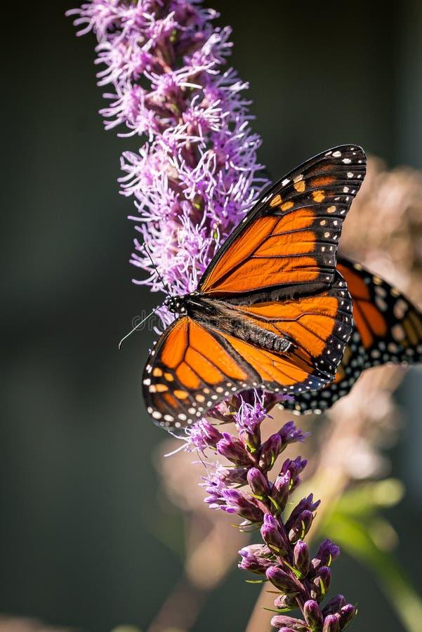 Mooie, nieuw tevoorschijn gekomen Monarch vlinder Danaus plexippus met vleugels die op een Blazing Star Liatris-bloem landen stock afbeelding