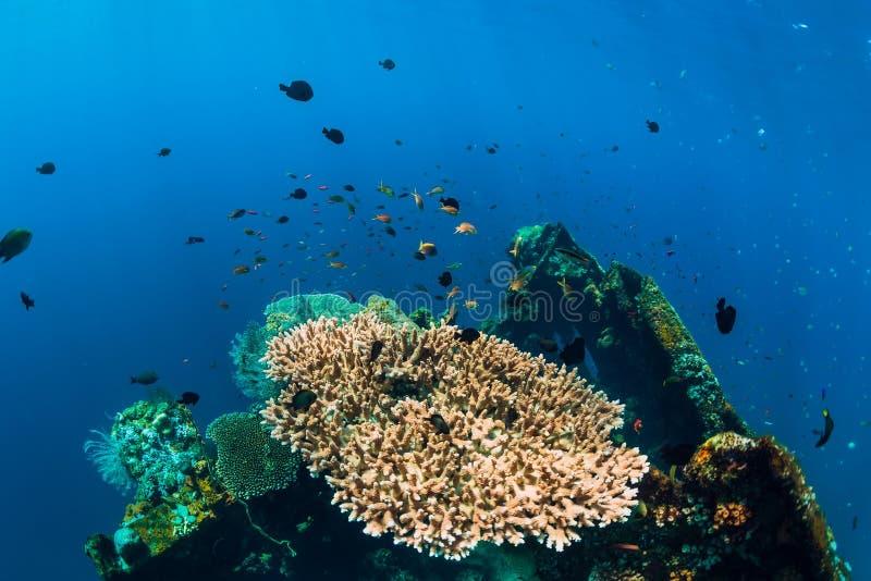Mooie onderwaterwereld met koralen en tropische vissen bij schipbreuk royalty-vrije stock fotografie