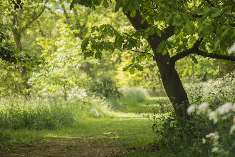 Mooie ondiepe diepte van gebieds vers landschap van Engels bos stock afbeeldingen