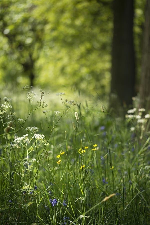 Mooie ondiepe diepte van gebieds vers landschap van Engels bos royalty-vrije stock foto