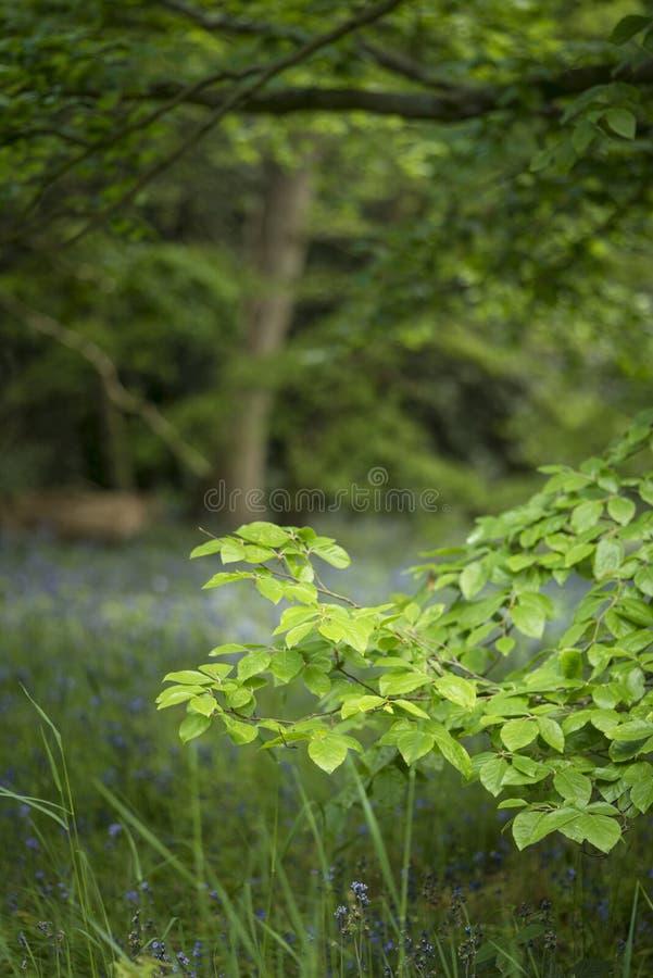 Mooie ondiepe diepte van gebieds vers landschap van Engels bos royalty-vrije stock afbeeldingen
