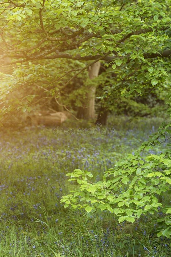 Mooie ondiepe diepte van gebieds vers landschap van Engels bos royalty-vrije stock foto's