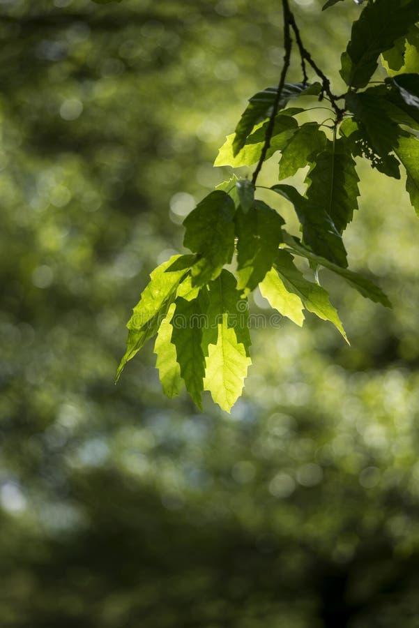 Mooie ondiepe diepte van gebieds vers landschap van Engels bos stock fotografie