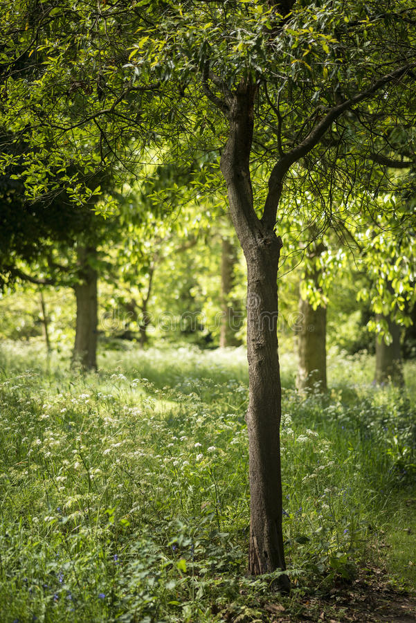 Mooie ondiepe diepte van gebieds vers landschap van Engels bos stock foto's