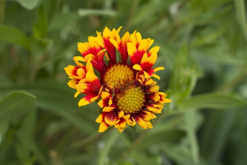 Mooie ongebruikelijke bloem met een heldere rode kleur Vegetatie binnen royalty-vrije stock foto
