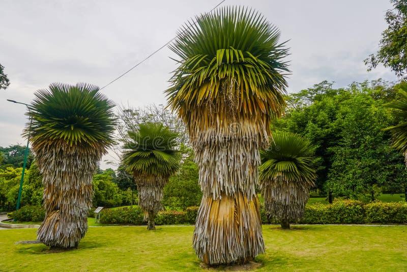 Mooie ongebruikelijke palmen in Kuala Lumpur-park maleisië royalty-vrije stock foto