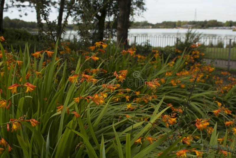 Mooie oranje Crocosmia & x28; Columbus& x29; bloemen royalty-vrije stock afbeeldingen