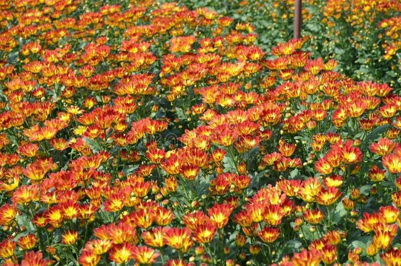 Mooie oranje en gele bloeiende madeliefje of chrysant fie stock foto