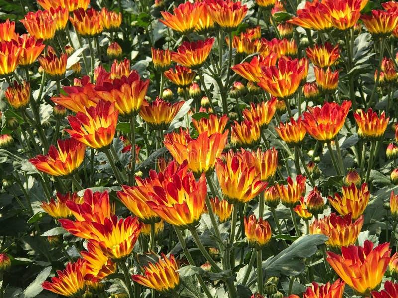 Mooie oranje en gele bloeiende madeliefje of chrysant fie royalty-vrije stock foto