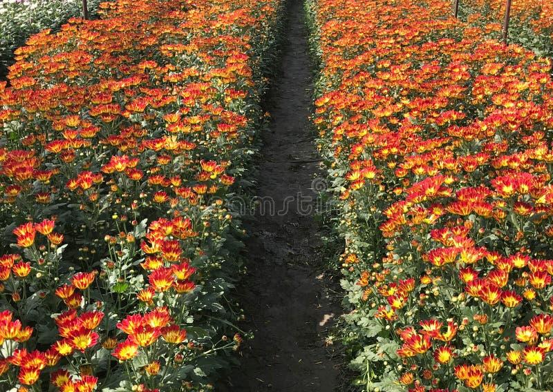 Mooie oranje en gele bloeiende madeliefje of chrysant fie stock afbeelding