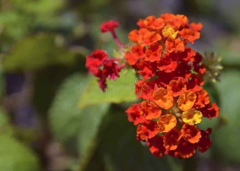 Mooie oranje en gele Lantana-camara bloeit in tropische tuin van Tenerife, Canarische Eilanden, Spanje royalty-vrije stock foto