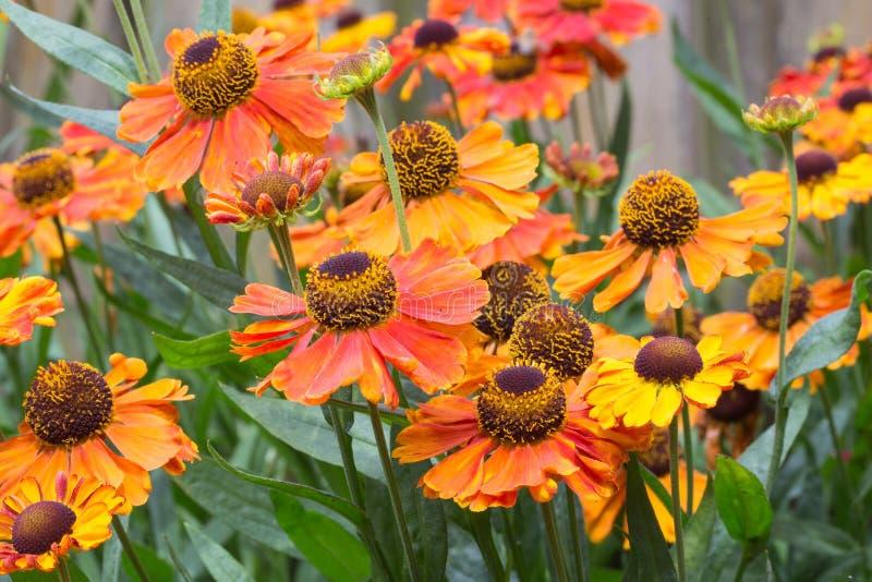 Mooie oranje heleniumbloemen in siertuin royalty-vrije stock foto