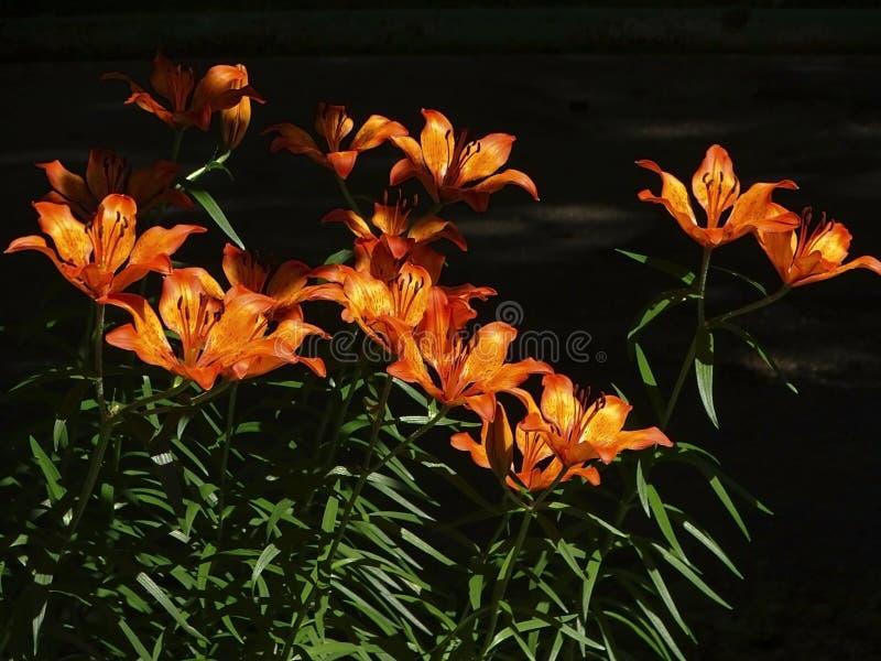 mooie oranje lelies op een zonnige de zomerdag royalty-vrije stock foto's